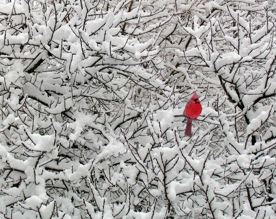 Song of sorrow roughwighting - Pictures of cardinals in snow ...