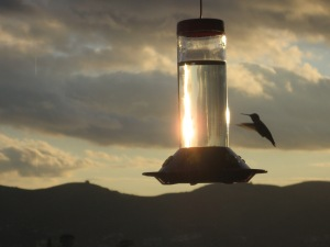 hummingbird, late for work