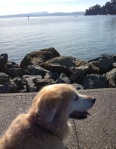dog, golden retriever, walking along San Francisco Bay