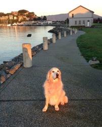 dog, golden retriever, friendship, woman and dog