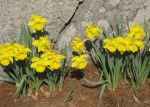 daffodils on rock