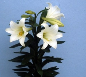 Easter lily, state flower, practical joke