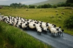 late, train, wedding, sister, brother, herd of sheep