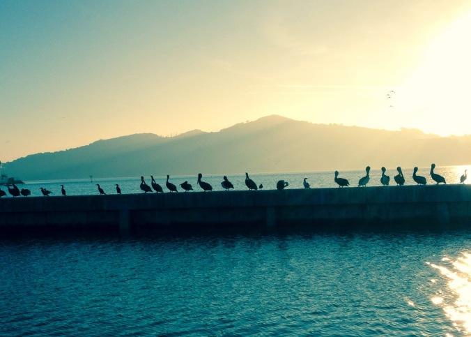 pelican, San Francisco Bay, Belvedere