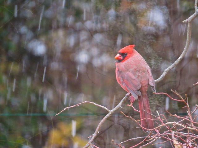 red cardinal, snow