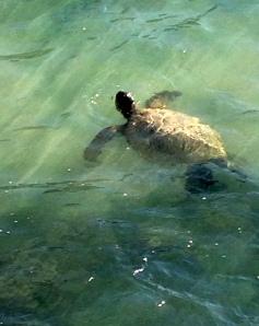 turtle, Kauai