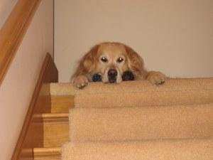 dogs, golden retriever, play