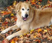 dog, golden retriever, autumn