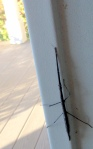 stick insect, Phasmatodea