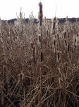 cattails, winter, Great Meadow