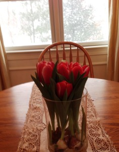 forcing tulips, spring, blizzard