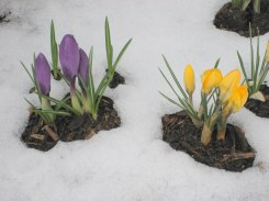 crocus, March, New England spring