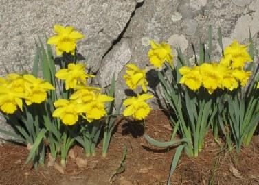 daffodils, spring, New England spring