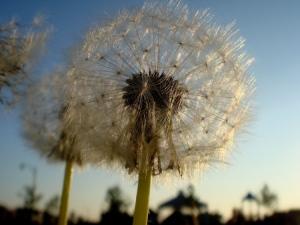 dandelion, nursery, planting