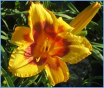 daylily, nursery, plants