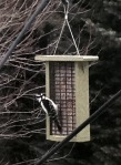hairy woodpecker, woodpecker, suet