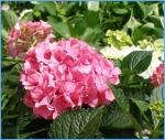 hydrangea, gardening, nursery