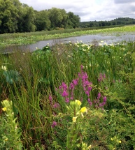 Great Meadows, Concord MA, August