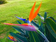 bird of paradise, Hawaiian flower