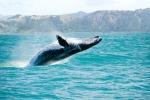 http://www.mauiwhalewatchingtrips.com/wp-content/uploads/2015/08/humpback-whale-hawaii.jpg