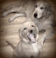 dogs, golden retrievers