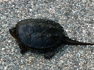 snapping turtle, New England reptiles