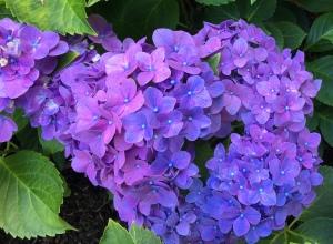 hydrangea, summer flowers