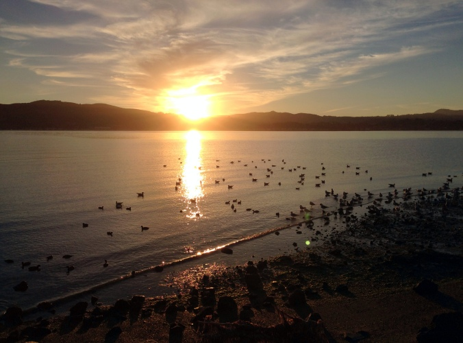 shorebirds, Richardson Bay