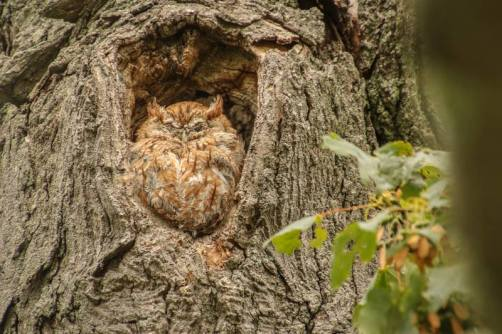 owl, photography, screech owl, poetry