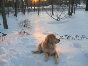 snow, dogs, golden retriever