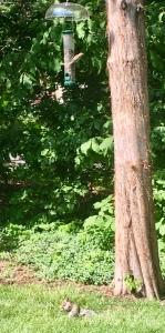 squirrels, bird feeder, New England birds