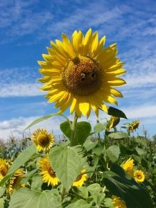 sunflower, summer
