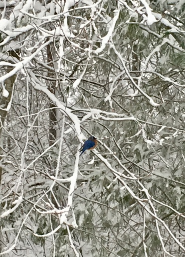 bluebird, winter trees, snow, New England