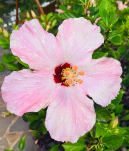 hibiscus, Hawaii, Hawaiian flower, pink