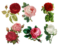 English wallpaper, roses, English blood