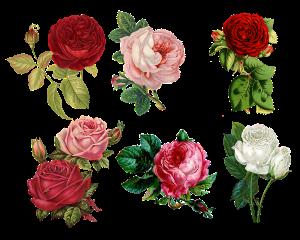 English wallpaper, roses, English blood