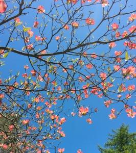 dogwood, New England spring
