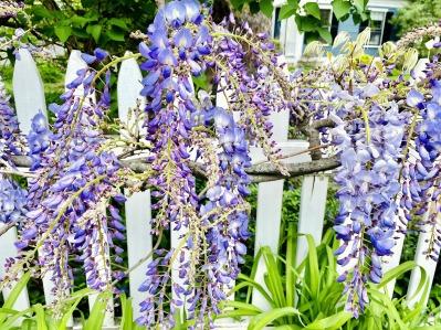 wisteria, flowers