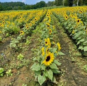 sunflowers, sunflower field, summer